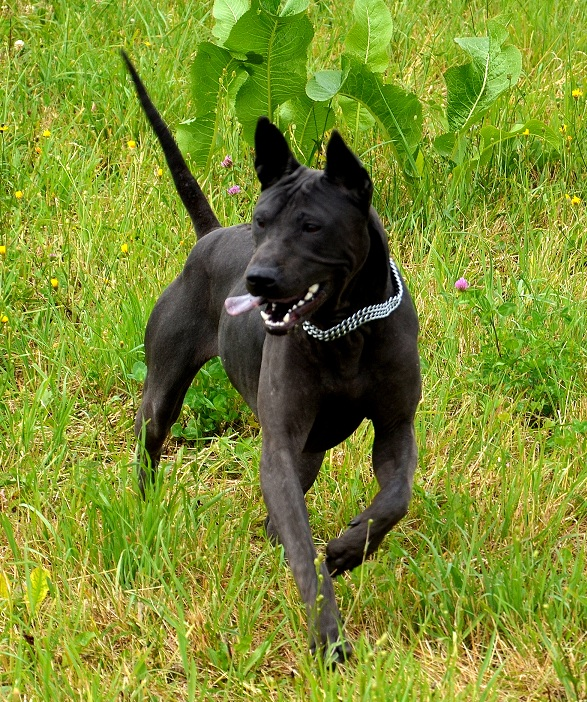 black thai ridgeback dog puppy