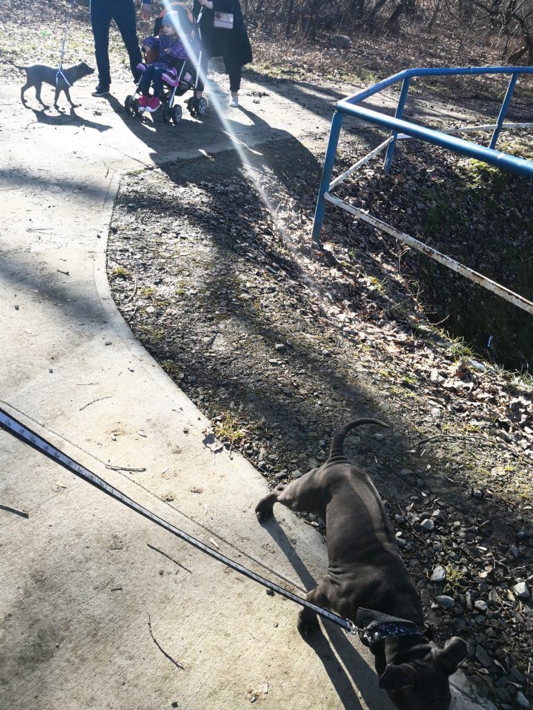 szczenięta thai ridgeback dog