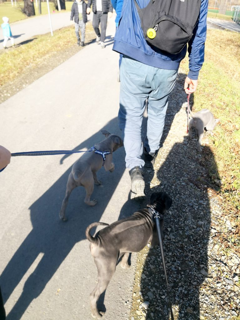 thailand ridgeback puppies on the walk