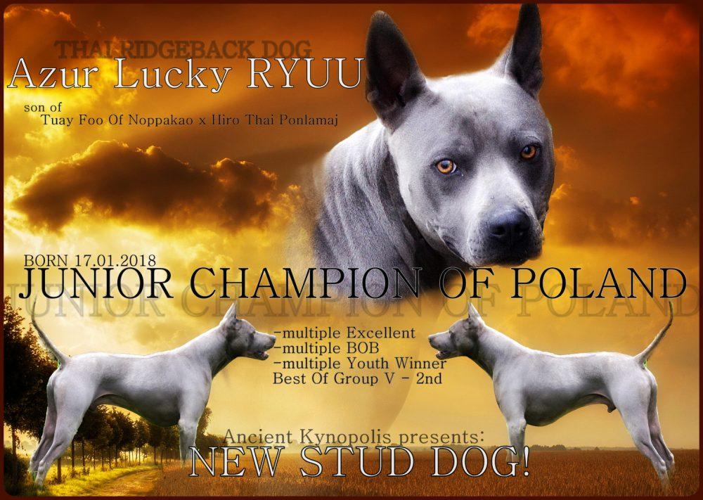 Thai Ridgeback Dog stud