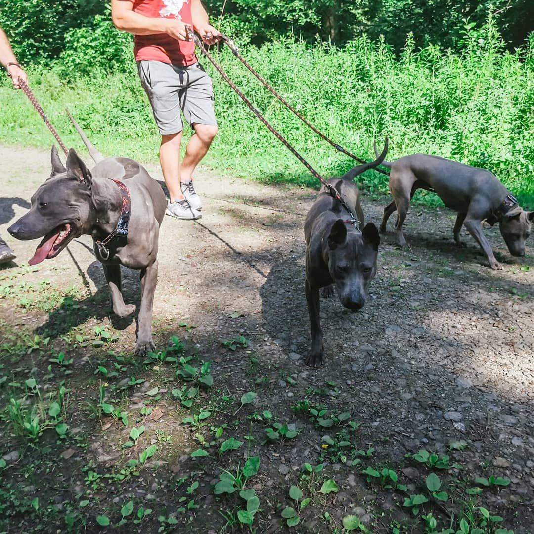 Blue thai Ridgeback Dog, niebieski pies, szary pies, Blue dog, Ridgeback dog