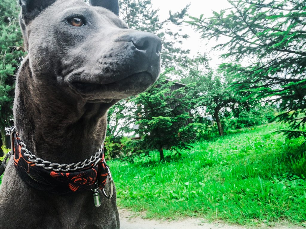 Blue thai Ridgeback Dog
