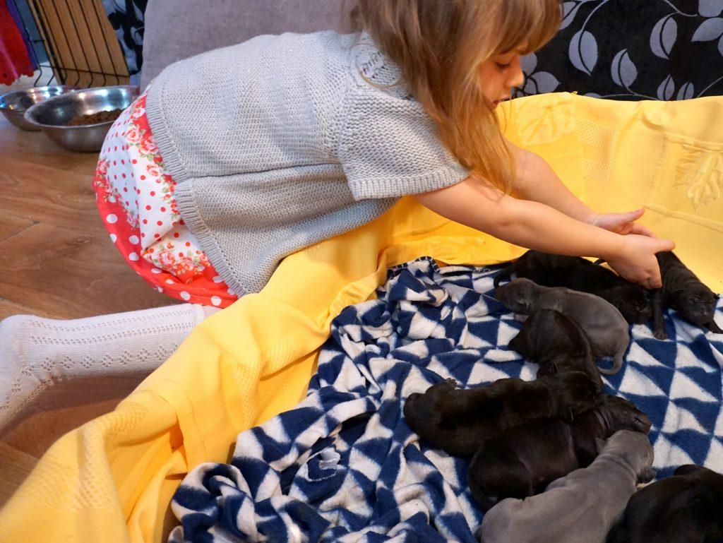thai ridgeback puppies for sale