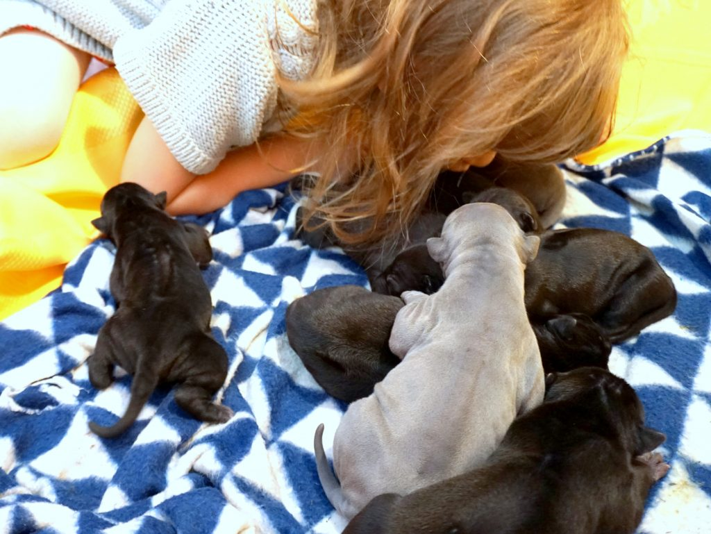 thai ridgeback puppies for sale